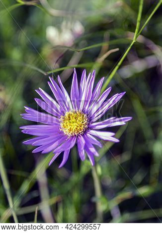 The Alpine Aster Is A Small Herbaceous Plant, A Spontaneous Perennial Of Alpine Pastures Belonging T