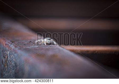Jumping Spider. A Spider Walks On A Rusty Iron Beam. Jumping Spiders Can Find In Forests Home Garden