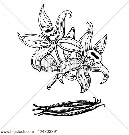 Hand Drawn Vanilla Flowers With Pods. Vector Illustration.