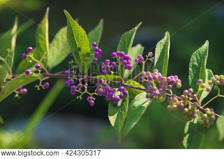 Close Up Of Purple Beauty Berries, Also Called Marusaki Shikibu Or Shrub Callicarpa Belonging To The