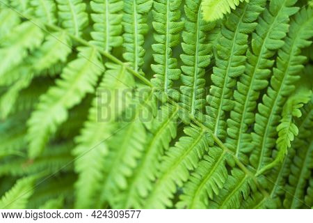 Green Fern Close Up. Natural Background And Wallpaper. Beautiful Green Fern Leaves In The Forest. Ba