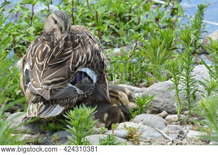 Mallard Duck Or Anas Platyrhynchos Hen With Her Ducklings Nestled Together On Rocks Among Springtime