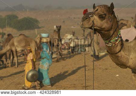 Pushkar, Rajasthan, India - November 7, 2008: Camels Crowd The Annual Pushkar Fair In Rajasthan, Ind