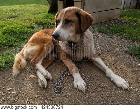 Old Weak Dog On Chain With Wound On Leg Resting On Ground Near Wooden Dog House
