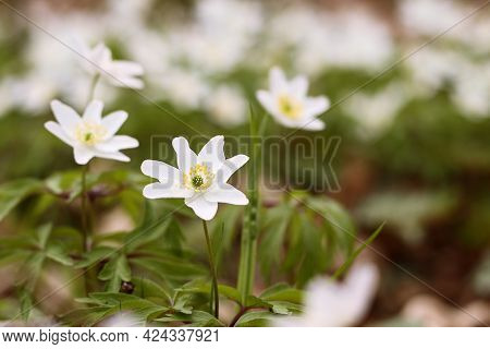 Close Up Of White Flower Of Anemone Nemorosa In The Forest. Anemonoides Nemorosa Or Wood Anemone Is