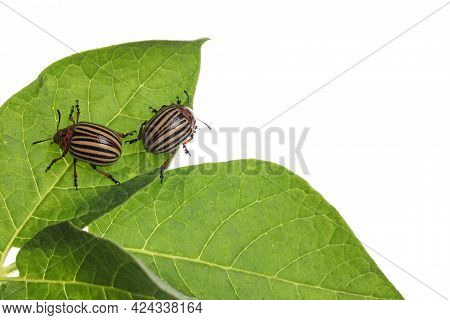 Two Colorado Potato Beetles On Green Plant Against White Background