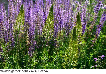 Tuberous Yellow Flowers With Oblong Flowers Combined With Blue Sage On A Flower Bed Impressive Flowe