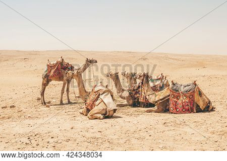 Camel Caravan On Vacation. The Leader Of The Pack In Front Of The Camels. Teacher Teaches The Studen