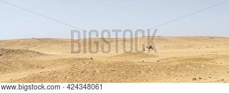 A Bedouin Leads A Camel Through The Desert.