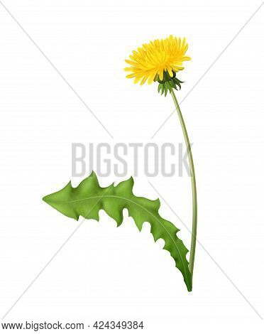 Realistic Blooming Dandelion With Green Leaf Vector Illustration