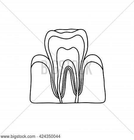 Cross Section Of A Human Tooth. Vector, Outline, Anatomical, Hand Drawn Illustration On White Backgr