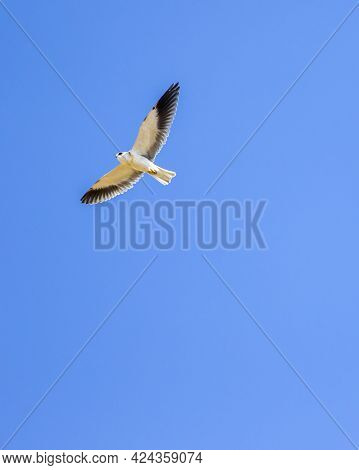 Black Shouldered Kite Or Black Winged Kite With Full Wingspan In Flight At Forest Of Central India -