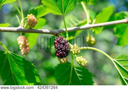 Ripe Mulberry On A Branch With Leaves. Delicious Juicy Mulberry Fruit.