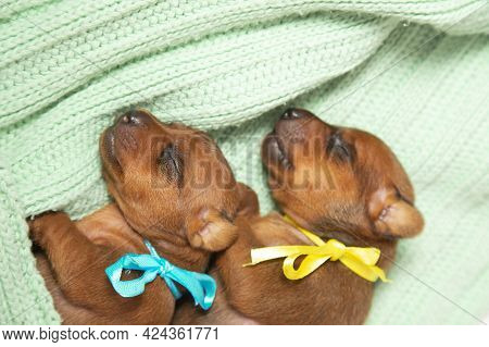Two Puppies From One Brood: Odon With A Blue One, The Other With A Yellow Ribbon Around His Neck. Tw