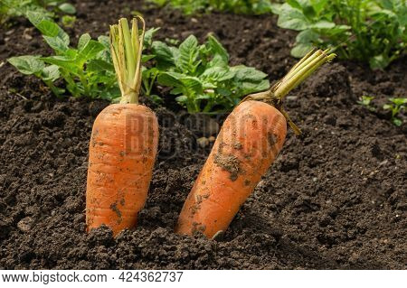 Two Fresh Carrots Are Sticking Out Of The Ground. Large Unwashed Carrots Are In The Field And Are St