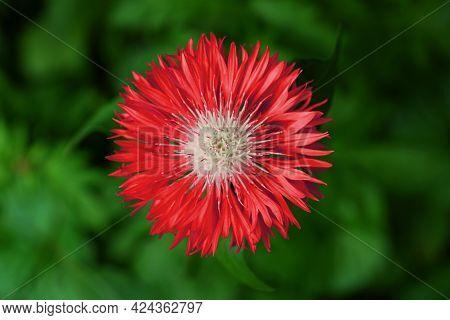 Centaurea Dealbata Red Flower On The Green Blurred Background. The Persian Cornflower Or Whitewash C