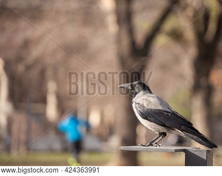 Focus On A Hooded Crow, A Black And Grey Crow Bird From The Corvidae Family, Also Called Corvus Corn