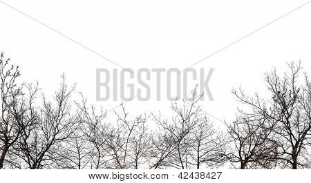 bare forest isolated on white background