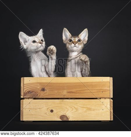 Two Laperm Longhair Kittens, Sitting Together In Wooden Crate. Looking Up And Paws Playful In Air Li
