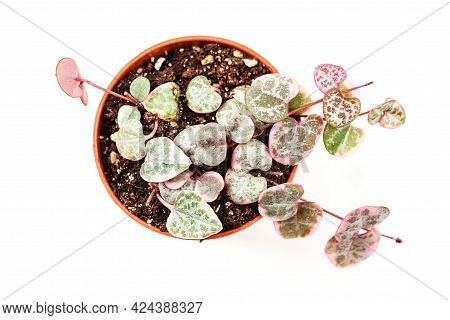 Ceropegia Woodii And Variegated. Young String Of Hearts Plant In Small Pot, Isolated On White Backgr