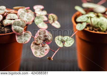 Ceropegia Woodii Silver And Variegated Macro Close Up. Young String Of Hearts Plant In Small Pot Ove
