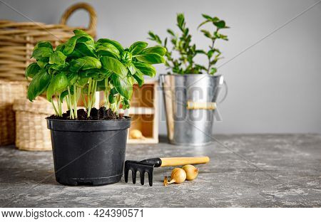 Fresh basil in pot with garden tool. Gardening farming with spicy herb and garden on gray background side view.