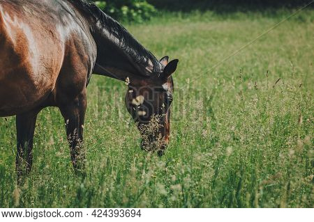 Beautiful Horse Grazing In The Summer Meadow. Sunny Day.