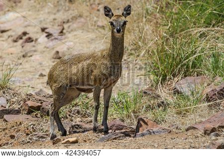 Female Klipspringer (oreotragus Oreotragus) Closeup Standing On The Ground Staring Intently In Marak