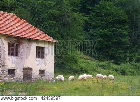 Flock Of Sheep Near The Old House. Montenegro.