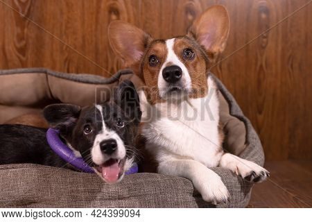Kind Affectionate Beautiful Dogs Corgi Cardigan, Close-up.