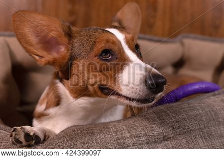 Cute Kind Beautiful Dog Corgi Cardigan Close Up.