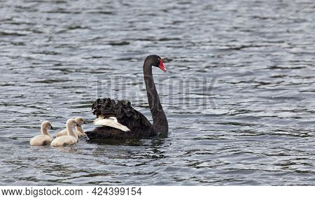 Black swan with nestlings in New Zealand