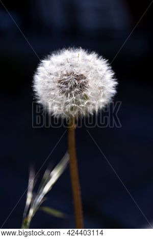 A Close Up Portrait Of A White Fluffy Common Dandelion Flower Against A Black Background. You Can Se
