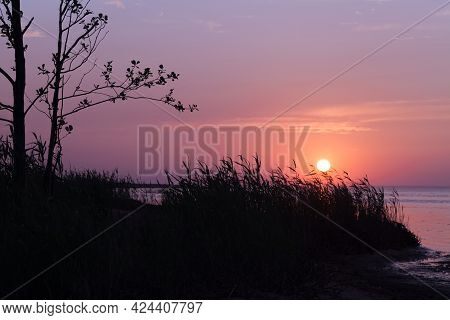 Pink Sunset Over Gulf Of Finland, Summer Evening Landscape Photo With Reed And Trees Silhouettes Und