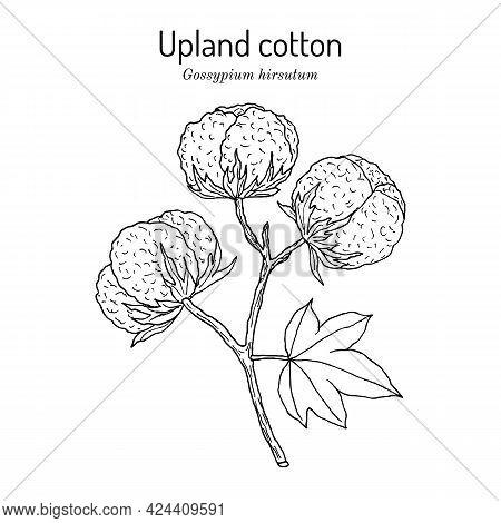 Upland Or Mexican Cotton Gossypium Hirsutum Hand Drawn Botanical Vector Illustration