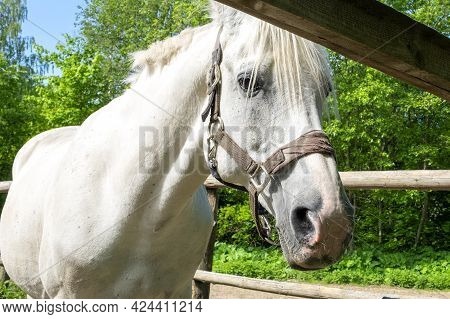 Close-up Of A White Horse. The Horse Stands In The Corral Against The Backdrop Of Green Trees. Blurr