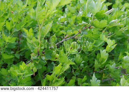 A Branch Of A Gooseberry Bush With Unripe Green Berries And Juicy Young Green Foliage. Selective Foc