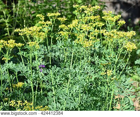 Common Rue Blooming In The Garden, Medicinal And Ornamental Plant.
