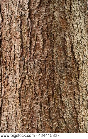 Embossed Texture Of The Bark Of Oak. Photo Of The Oak Texture.