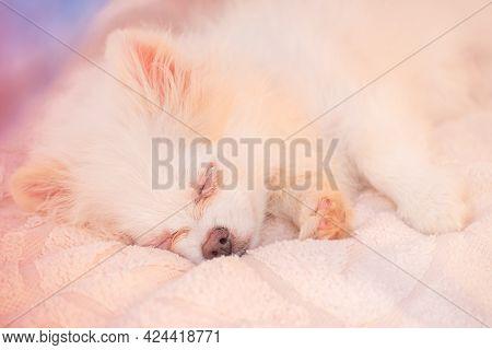 Cream-colored Sleeping Pomeranian. White Spitz Puppy Is Sleeping. Sleep, Tenderness. Pet