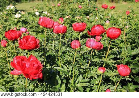 Red Blooming Pions On The Flower Bed