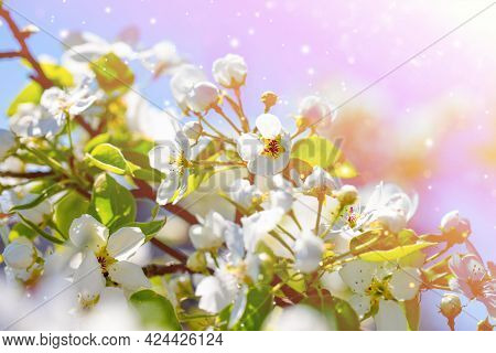 A Branch Of A Blooming Apple Tree In The Park On A Sunny Spring Day On Blue Sky Background. Bokeh, S