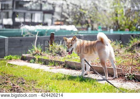 Adorable Red Dog Shiba Inu Dog Is Standing In The Garden On A Sunny Summer Day. Front View