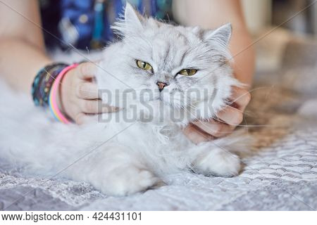 Girl Scratches The Neck Of British Long-haired White Cat