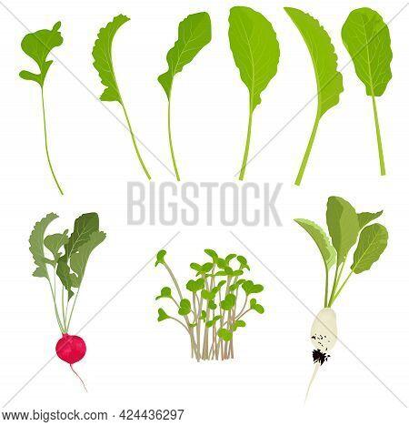 Set Of Radishes And Radishes Vector Stock Illustration. Foliage And Roots, Radish Tubers. Plant Elem