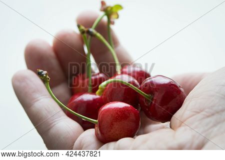 Prunus Avium. Cherry Berries In A Man's Hand. Man's Palm With Red Ripe Berries On Sunny Summer Day.