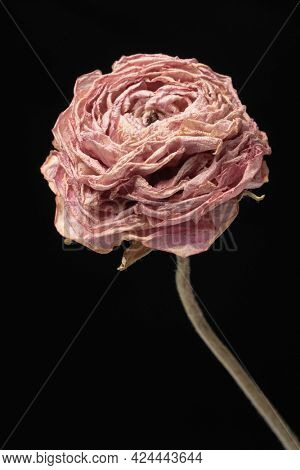 Dried pink buttercup flower on a black background