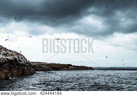 Flock of seabirds flying over the Farne Islands in Northumberland, England