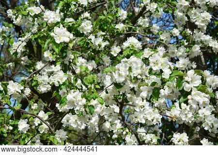 Apple Tree Blooming Background. White And Pink Blossom Of An Apple Tree In Spring. An Apple Tree Wit