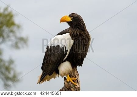 Stellers Sea Eagle Sits On A Stump Against The Background Of Sky And Trees. The Bird Of Prey Looks T